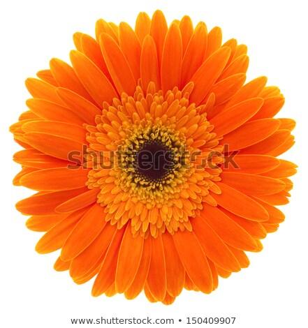 Orange gerbera daisy flower Stock photo © homydesign