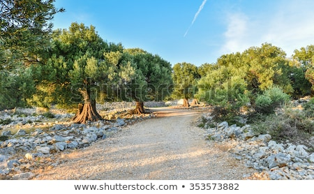 olive plants in summer on olive plantation Stock photo © juniart