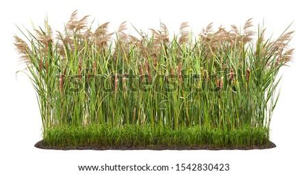 Water Reeds Stock photo © chrisbradshaw