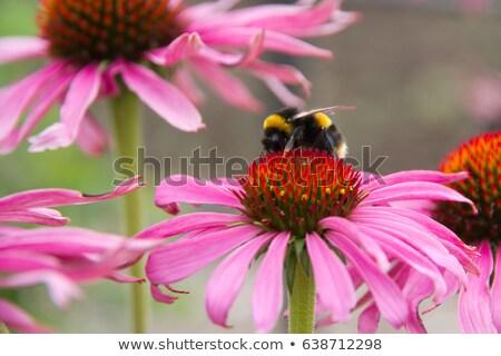 bee on echinacea flower stock photo © leonardi