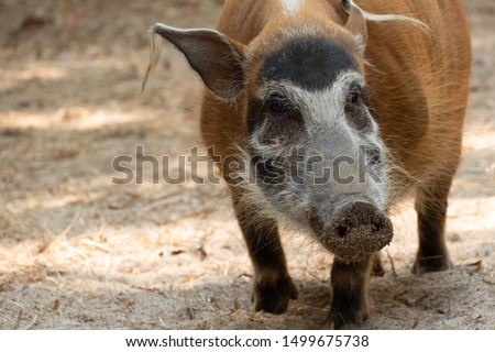 Red river hog Stock photo © KMWPhotography