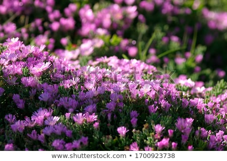 цветок Португалия саду цветы свет Сток-фото © compuinfoto