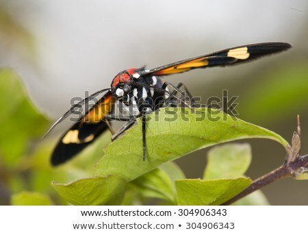 Hornet Moth (Euchromia sp.) resting on a leaf stock photo © davemontreuil