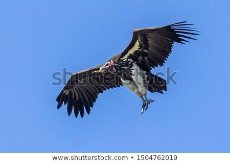 vulture in masai mara national park stock photo © meinzahn