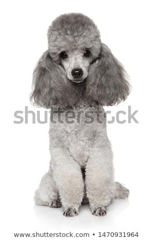 Barboncino ritratto bianco nero divertente studio Foto d'archivio © vauvau