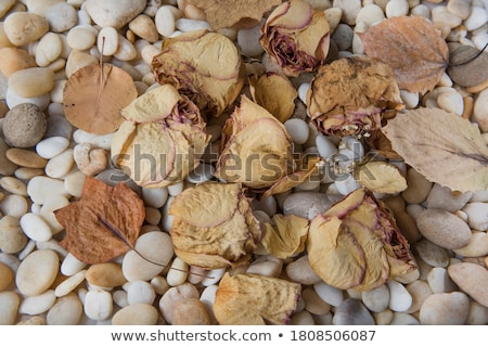 Withered rose on pebbles Stock photo © john_nyberg