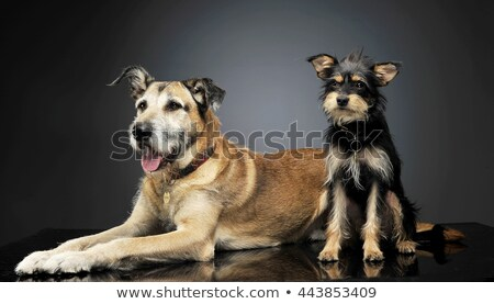 two mixed breed wired hair dogs are having fun in studio Stock photo © vauvau