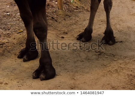 closeup of the paws of a camel stock photo © alessandrozocc
