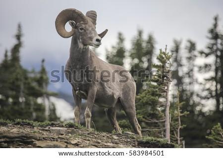 Bighorn Sheep in the Rockies of Alberta Stock photo © pictureguy