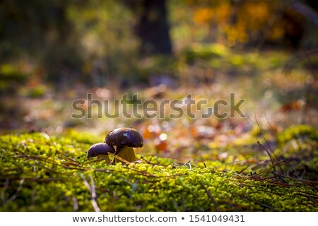 two boletus badius growth in wood Stock photo © romvo