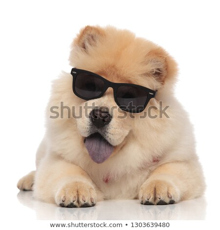 happy chow chow wearing sunglasses pants while lying Stock photo © feedough