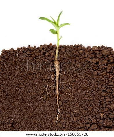 Roślin rozwój podziemnych ilustracja drzewo charakter Zdjęcia stock © colematt