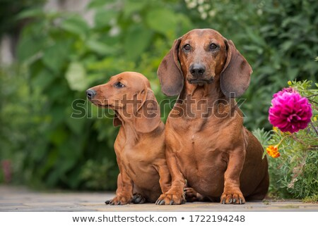 Studio shot of a two cute Dachshund dog (puppy and adult) Stock photo © vauvau