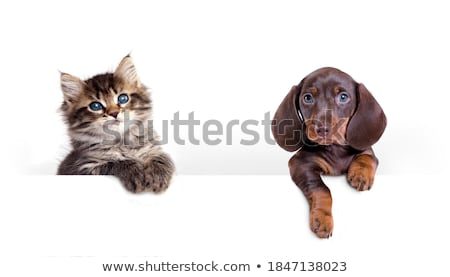 Studio shot of an adorable cat with a Dachshund dog Stock photo © vauvau
