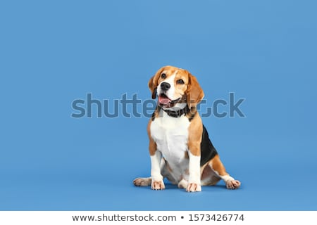 Portrait adorable Beagle isolé noir animaux Photo stock © vauvau