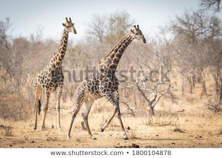 Giraffe drogen grond twee giraffen lopen Stockfoto © orla