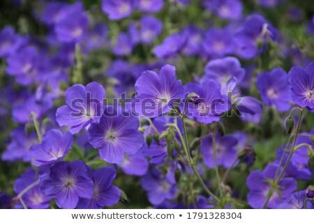 Wood Cranesbill Woodland Geranium Stock photo © restyler