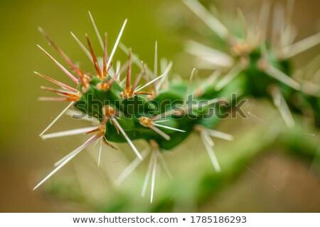 Kaktusz tűk természet zöld fájdalom védelem Stock fotó © shyshka