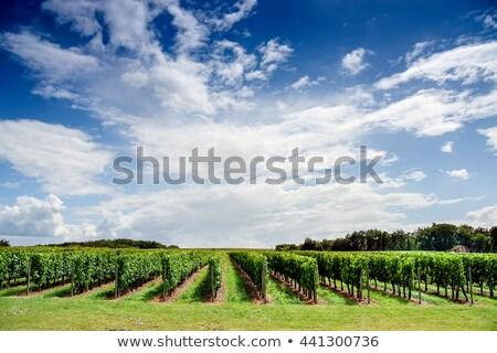 Niebieski winogron region Francja liści Zdjęcia stock © phbcz