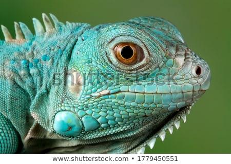 Verde iguana pele macro ver família Foto stock © pavel_bayshev