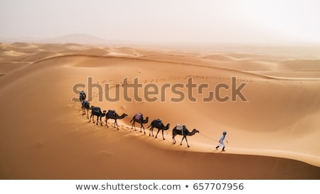 camelos · deserto · dois · camelo · olhando · sol - foto stock © kash76