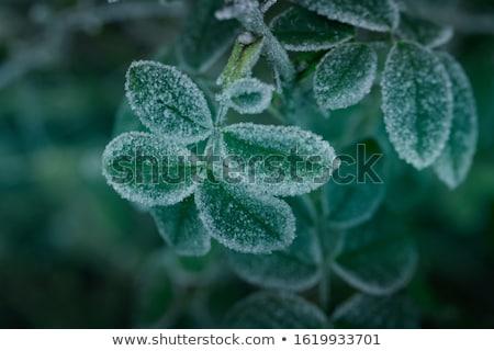 Fagyos levél reggel fagy növény levelek Stock fotó © elenaphoto