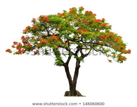 Poinciana Tree Flowers Stock photo © ribeiroantonio
