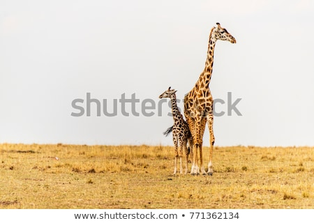 two giraffes in african savannah stock photo © prill
