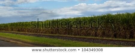 Sugarcane Plantation Crop Australian Agriculture With Blue Sky Panorama Stok fotoğraf © Sherjaca