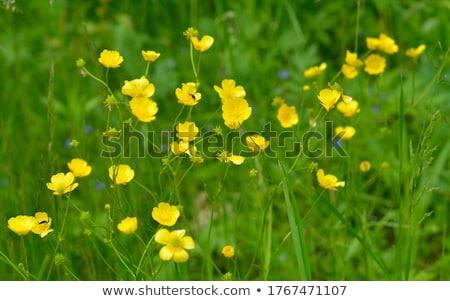 çayır bir odaklı ön plan çim Stok fotoğraf © russwitherington