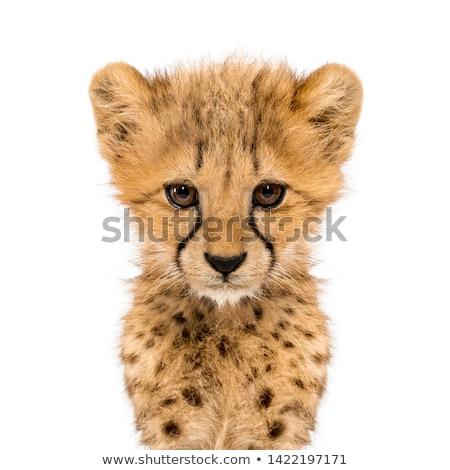 Gepárd pihen fű Afrika állat veszély Stock fotó © chris2766