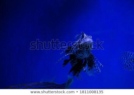 lionfish zebrafish underwater Stock photo © Mikko