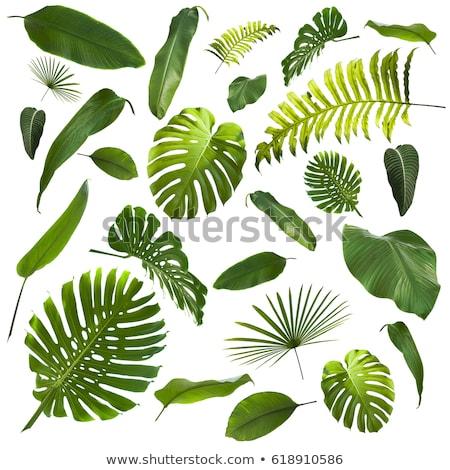 yeşil · eğreltiotu · yaprak · yalıtılmış · beyaz · doğa - stok fotoğraf © Lekchangply