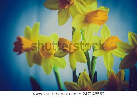весны нарциссов крест кремом оранжевый Сток-фото © frannyanne