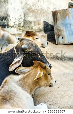 mucca · riposo · selvatico · paese · guardando · fotocamera - foto d'archivio © meinzahn