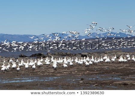 Flock of birds flying over a river, Quebec, Canada Stock photo © bmonteny