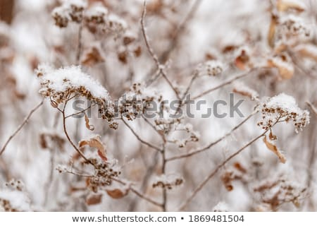 Stock photo: frozen plants in meadow  in wintertime