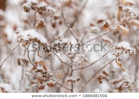 frozen plants in meadow in wintertime stock photo © meinzahn