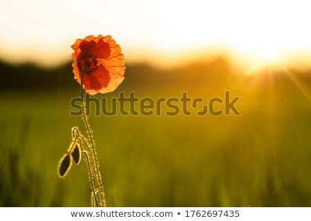 Sunrise prato luce fiori sfondo campo Foto d'archivio © MKucova