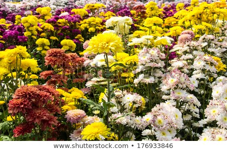 centro · luz · amarillo · crisantemo · flores - foto stock © yongkiet