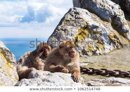 Emberszabású majom erdő természet hó tél állat Stock fotó © kentoh
