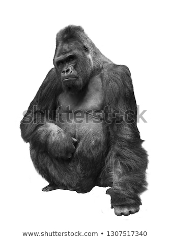 Young gorilla portrait Stock photo © digoarpi
