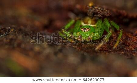 Verde granchio spider ritratto studio bianco Foto d'archivio © t3rmiit