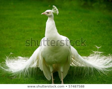 pauw · groene · dansen · vogel · patroon · dier - stockfoto © master1305