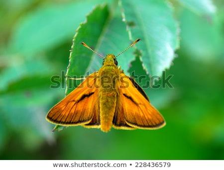 Stock photo: Small Skipper (Thymelicus sylvestris)