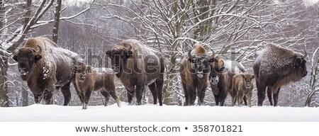 european bison family stock photo © photosebia
