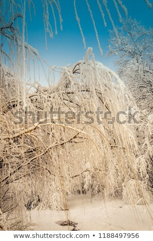 bottom view on hanging willow branches on ice in snow stock photo © alisluch
