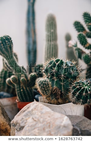 Stock photo: Cactus in pots in home garden