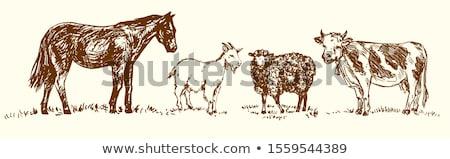 feminino · norfolk · chifre · ovelha · cordeiro - foto stock © photosebia