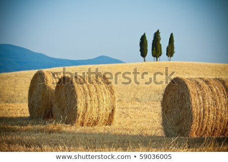 Tuscany landscape with a lonely cypress tree, Italy. Stock photo © photocreo